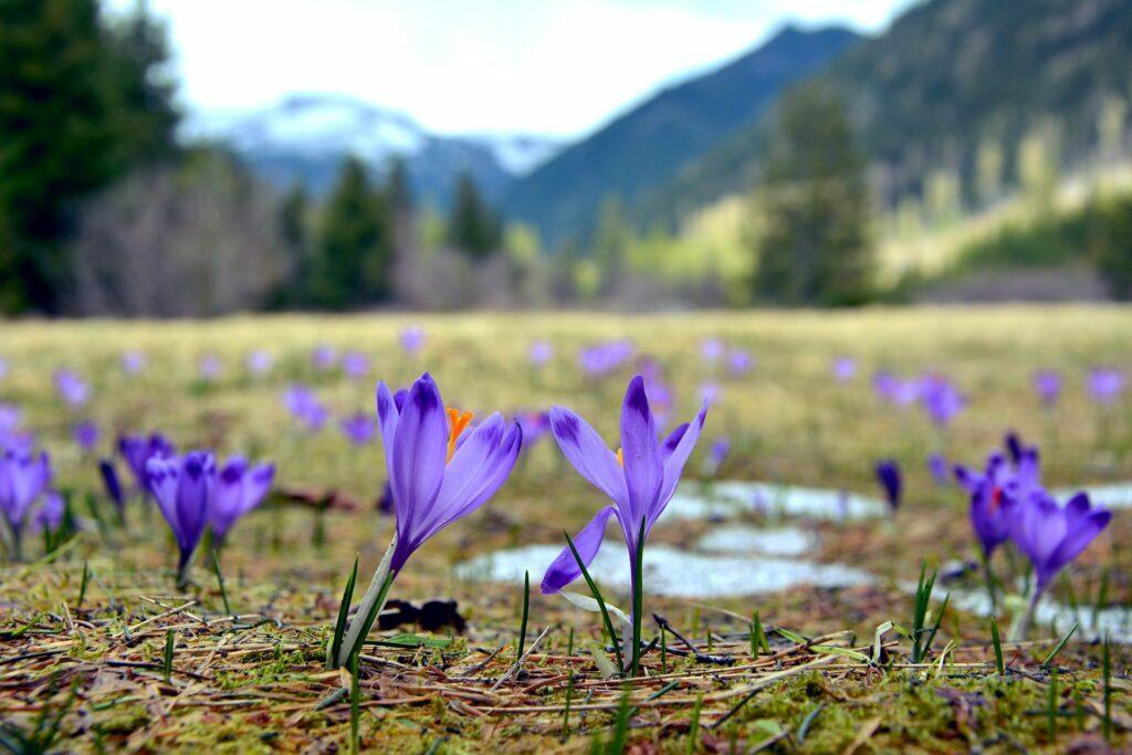 drasi krokinwn paragwgwn crocus sativus